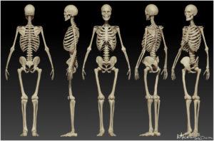 строение человеческого скелета